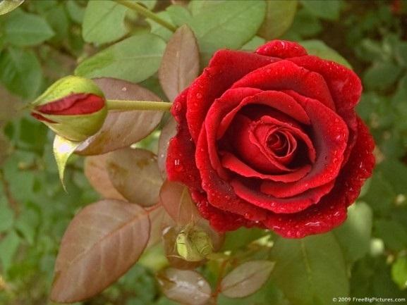 purple-rose-577x433