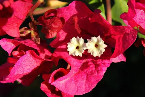 floarea hartie
