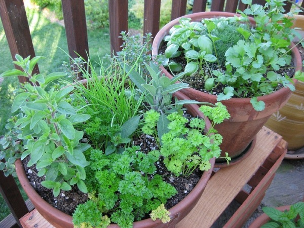 2008-herb-crop-on-the-patio