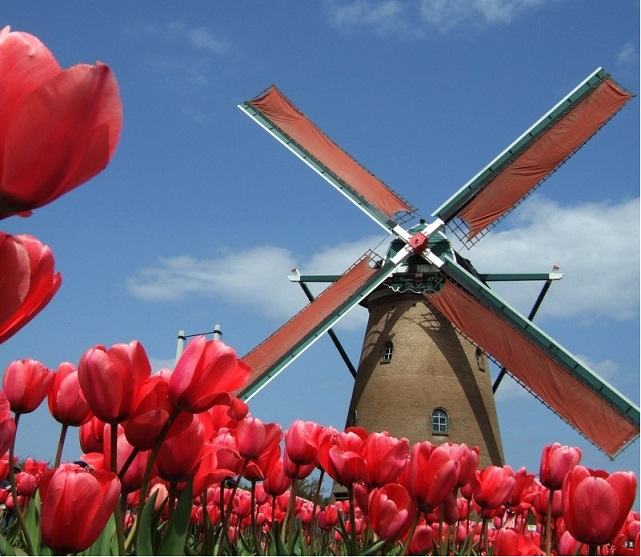 red-tulips-1
