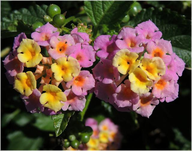 flori cameleon