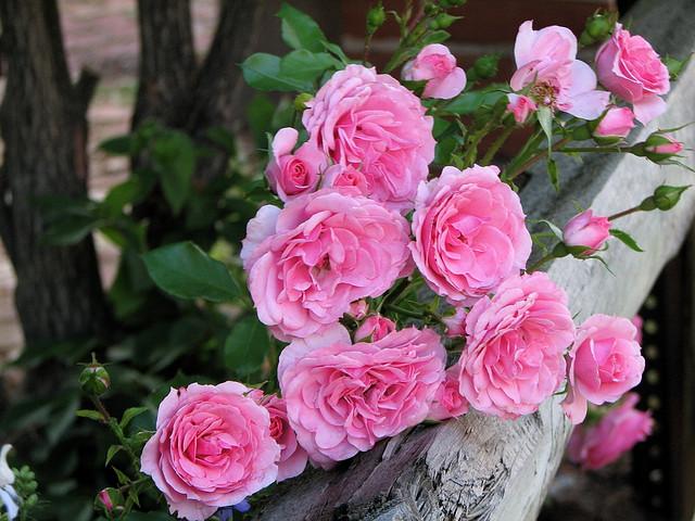 șold de trandafir în boala articulară)