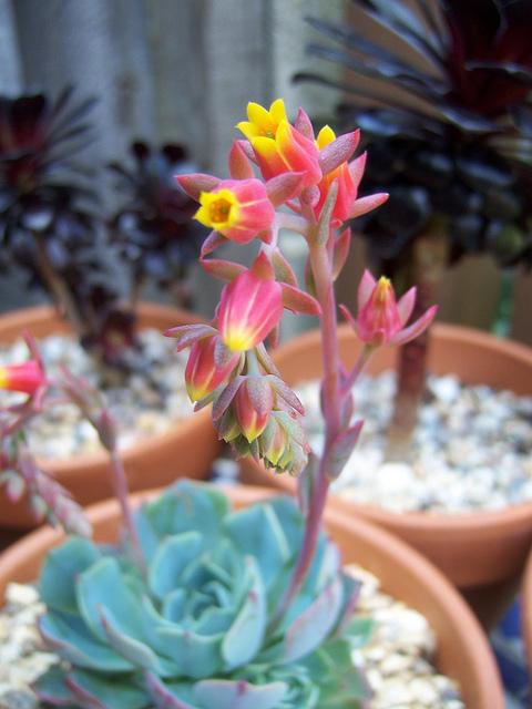 echeveria flori