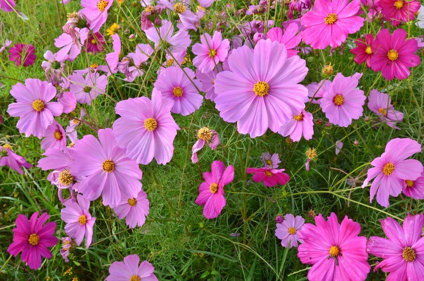 12660378 - beautiful cosmos flower field