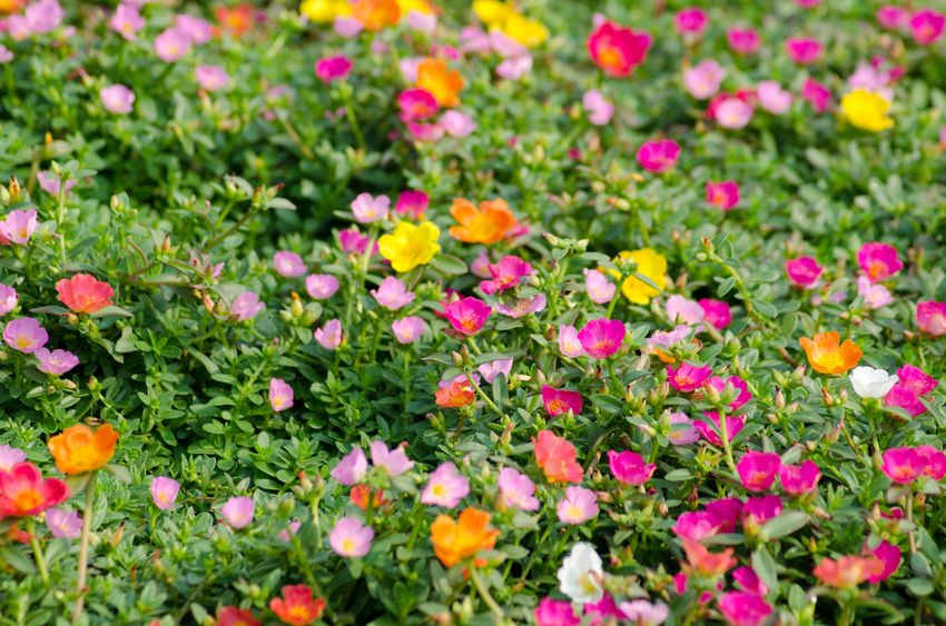 18947952 - portulaca flower
