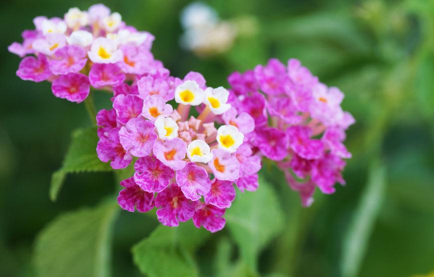 33873174 - lantana flower in green garden