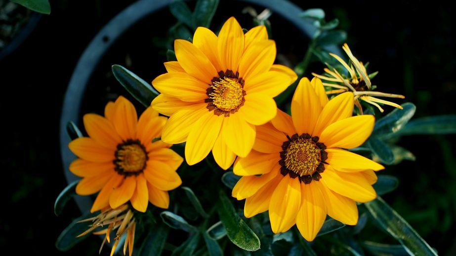 57425325 - three yellow gazania flower in pot