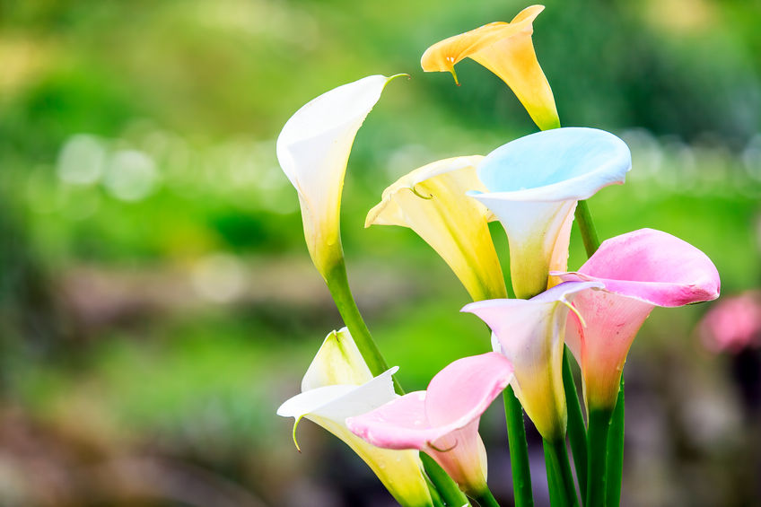 40818191 - bouquet of multicolored calla lilies. floral pattern. close-up. abstract background
