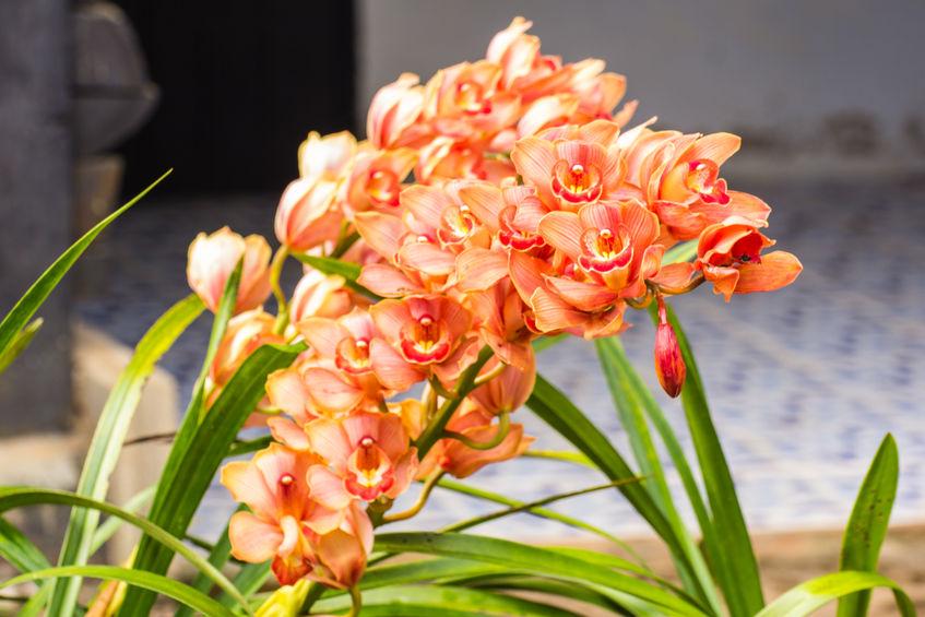 58930669 - orange cymbidium flower