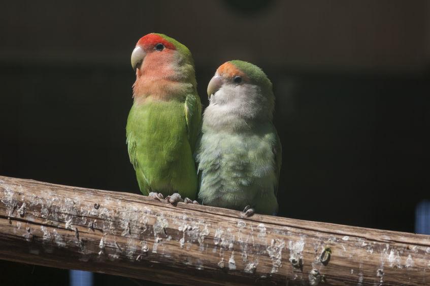 39434553 - agapornis lovebirds