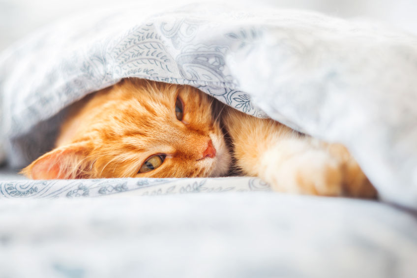 57985734 - cute ginger cat lying in bed under a blanket. fluffy pet comfortably settled to sleep. cozy home background with funny pet.