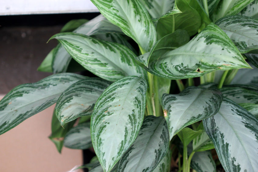 63539426 - aglaonema silver bay, cultivar of chinese evergreen foliage plant with silver green center and dark green stripes or patches along the periphery
