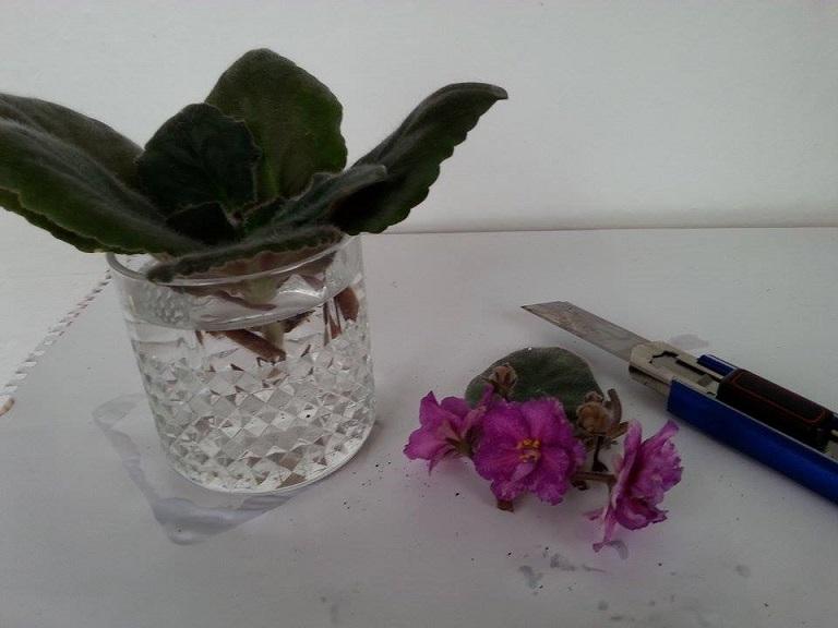 Frunzele violetelor africane vor dezvolta rădăcini noi în apă