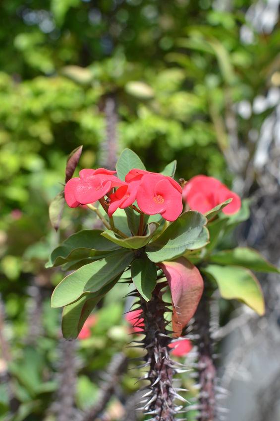 Spinii acestei plante pot provoca iritații severe, dacă nu îți protejezi mâinile