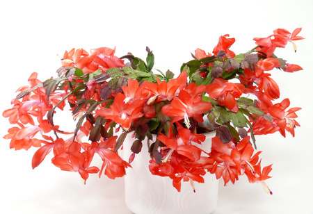 Cactusul de Crăciun înflorește mai bogat după o perioadă lungă de repaos, de cel puțin 4 săptămâni