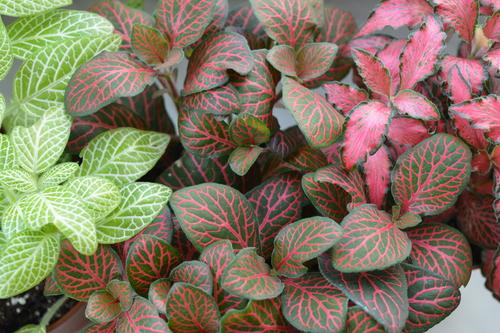 Diverse soiuri de fittonia, în nuanțe de roz și de alb