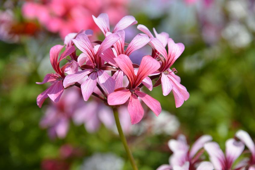 Flori roz de geranium
