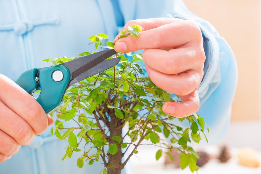 Crengile copacilor bonsai trebuie tunse în mod regulat primăvara