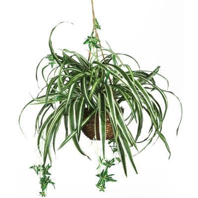Cultivată în coșuri suspendate, planta păianjen dă o notă de eleganță interiorului