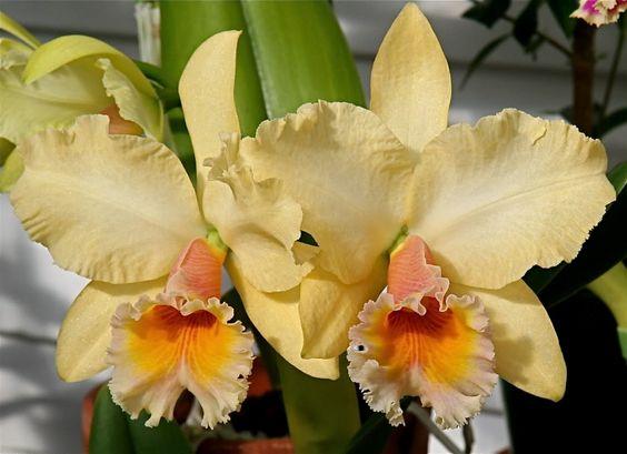 Florile de Cattleya pot avea nuanțe diferite, de la roz, lila, galben, portocaliu și verde, până la albul pur