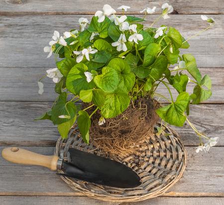 Toporașii cu flori albe sunt mai rari, dar mai puțin parfumați