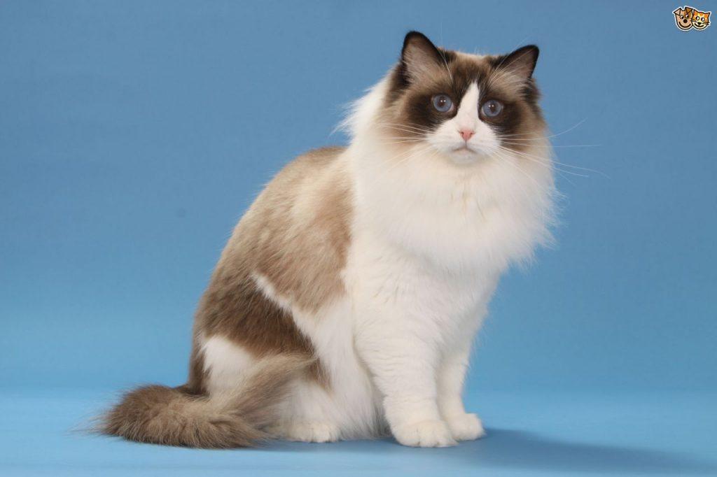 ragdoll, o păpușă de pisică