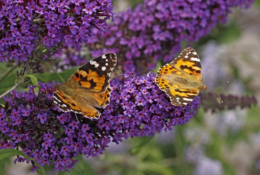 Liliacul de vară are flori parfumate care atrag fluturii