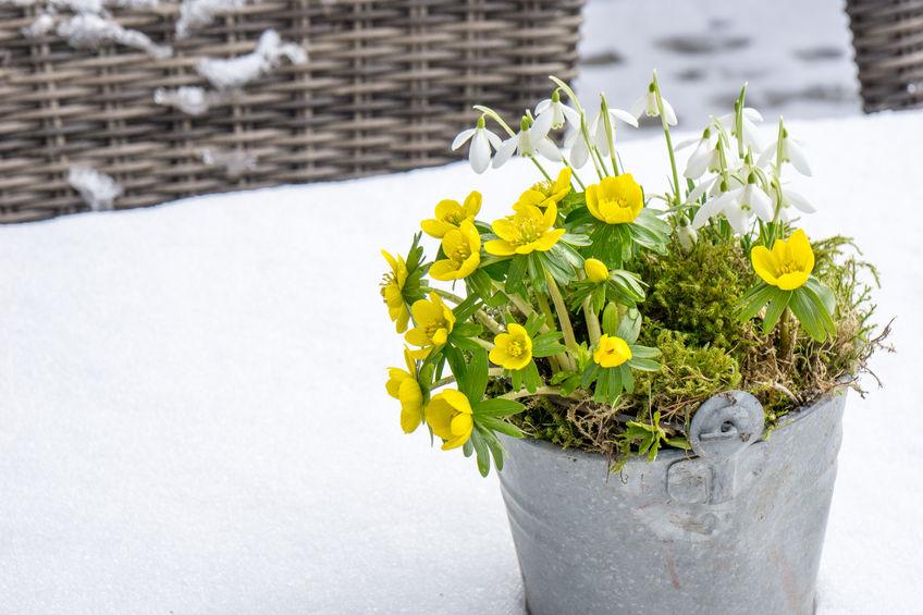 Ghiocei și flori de ierniță cultivate la ghiveci