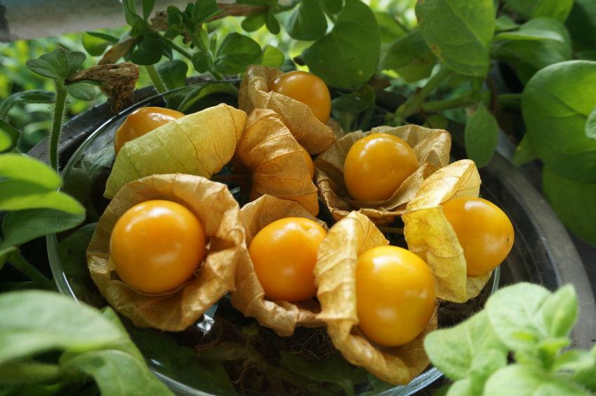 Fructele de physalis sunt gustoase și foarte sănătoase