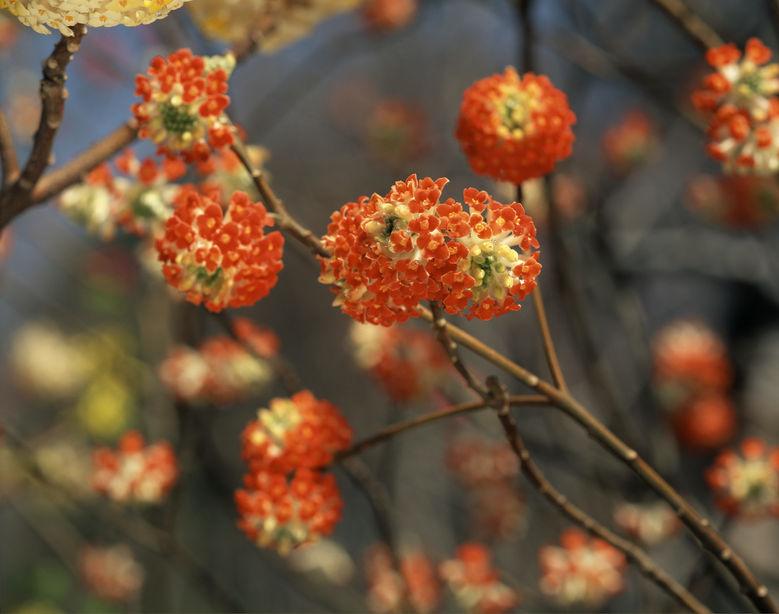 Arbustul de hârtie poate avea și inflorescențe roșii, decorând grădina de sărbătoare iarna