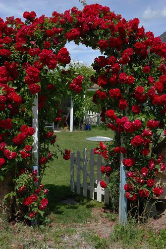 Crenguțele trandafirilor urcători care cresc pe arcade se taie foarte scurt în fiecare primăvară