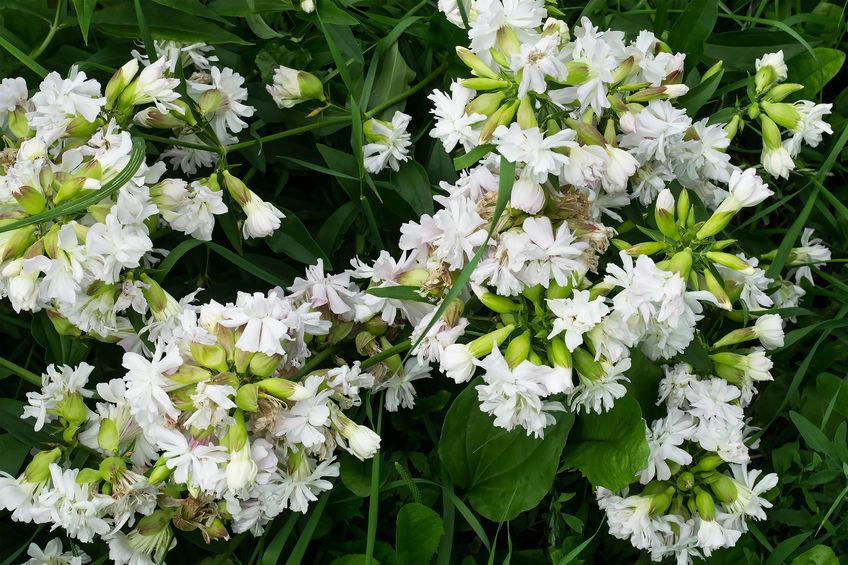 flori albe de săpunăriță