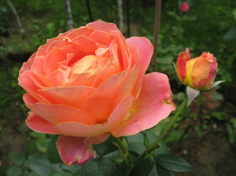 ce flori plantezi lângă trandafiri