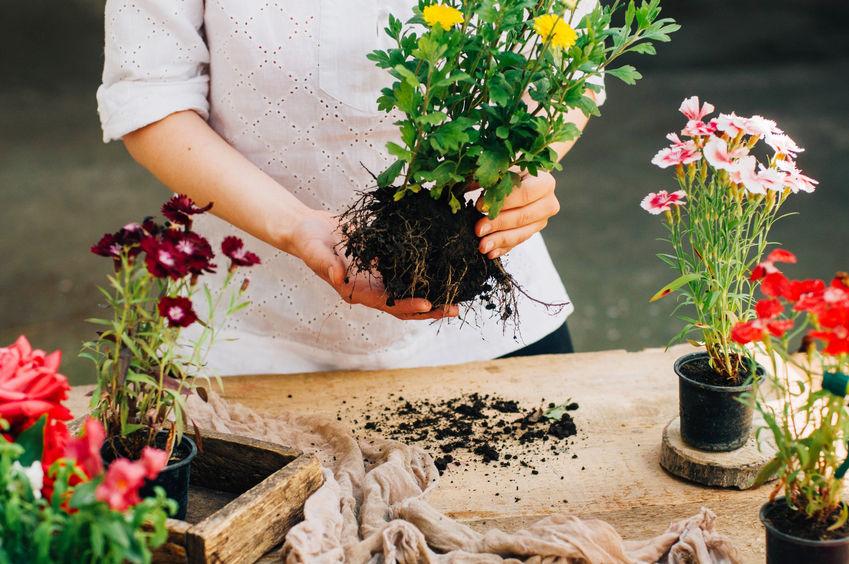 Drajonii de crizantemă se recunosc după tulpinile fragede care pornesc din rădăcinile laterale și după culoarea verde-gălbuie