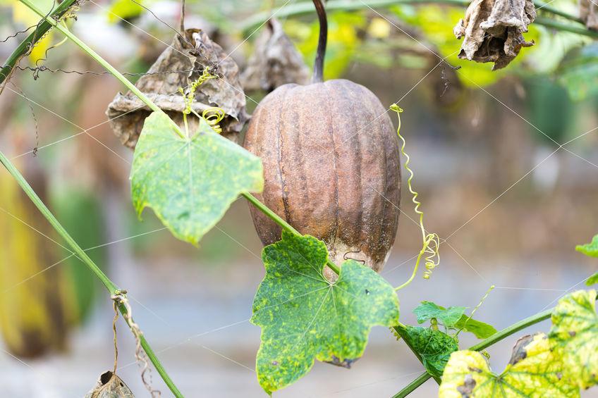 Fructul uscat și bine copt al buretelui vegetal