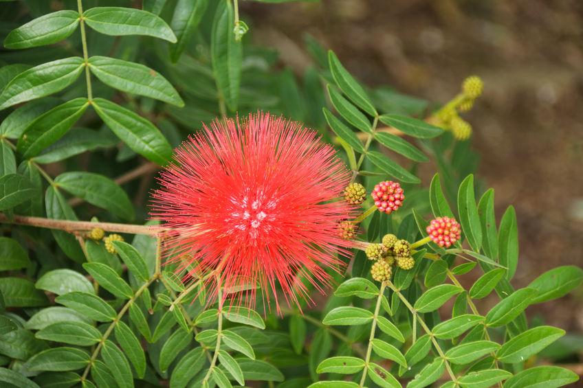Numeroase varietăți de albiția au florile roșii