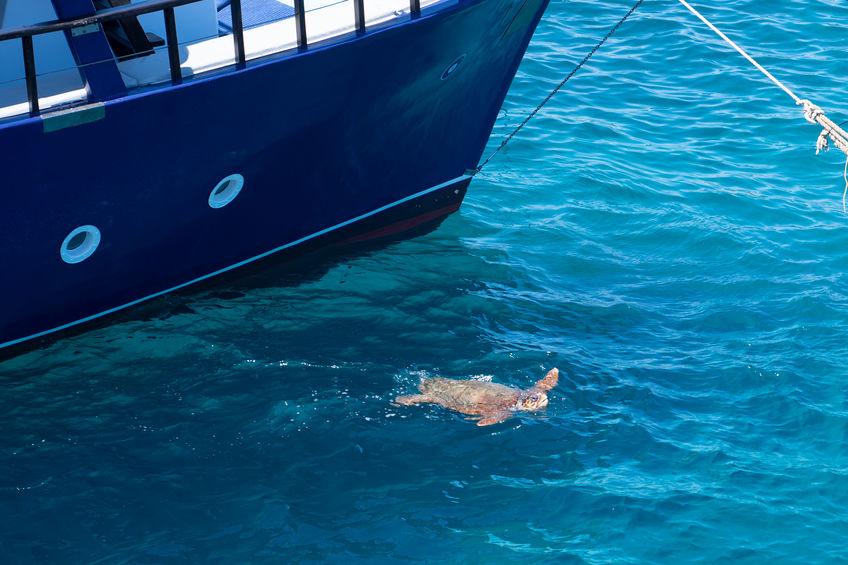 Țestoasele Caretta Caretta înoată pe lângă vasele de croazieră