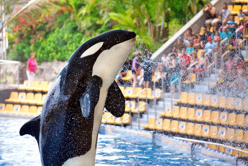 Spectacol acvatic cu orcă în Loro Parque, Tenerife