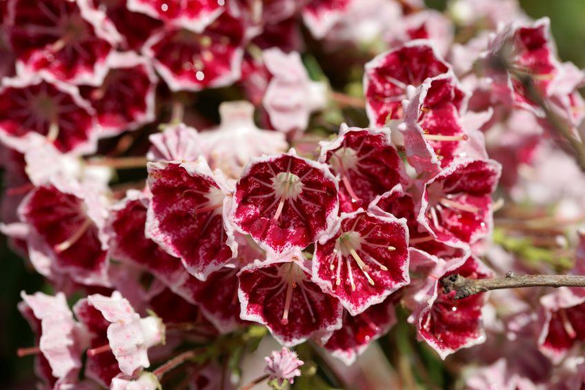 Laurul de munte poate avea și flori grena