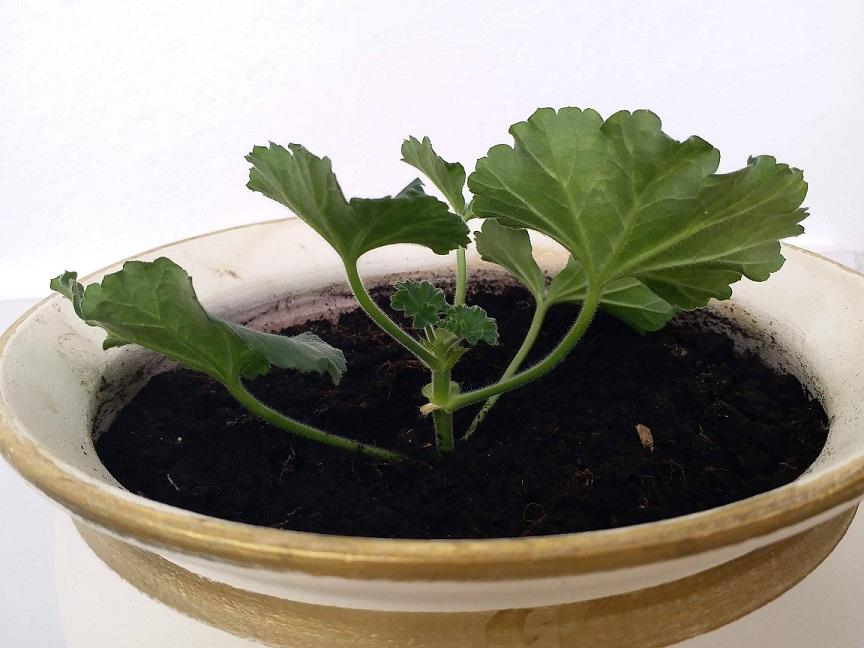 Butașii de mușcată vor prinde rădăcini în cel mult 6 săptămâni, dacă sunt udați moderat zilnic