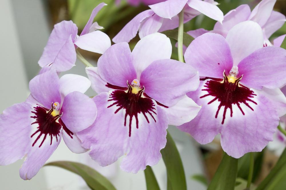 orhideea panseluta sau miltonia